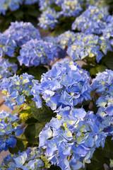Blue hydrangeas flowers