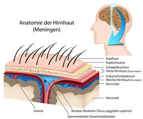 Anatomie der Hirnhaut, Meningen