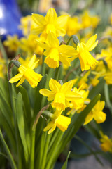 Yellow daffodils - narcissus flowers