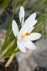 White crocus (Crocus heuffelianus) blooming
