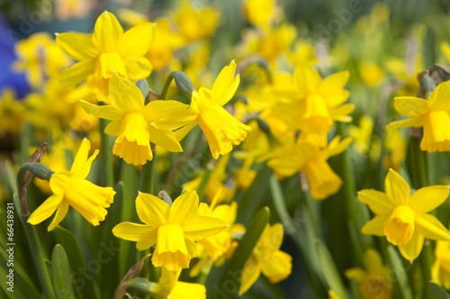 Field of yellow daffodils - narcissus flowers