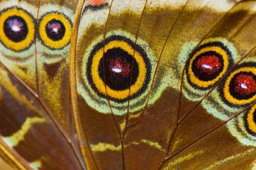 Macro of blue morpho butterfly wing