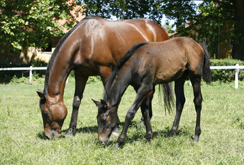 Mare and her foal in meadow