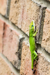 Green anole lizard on wall