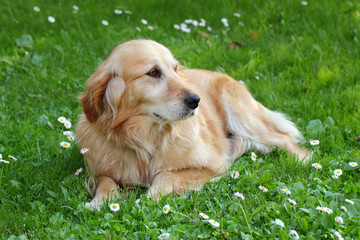 Beautiful dog, Labrador retriever lying at grass