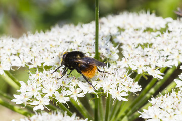 Red-Tailed-Bumble-Bee. (Bombus lapidarius)