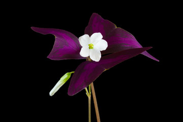 Oxalis triangularis or Purple Shamrock on black background