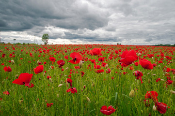 Dramatic poppy field