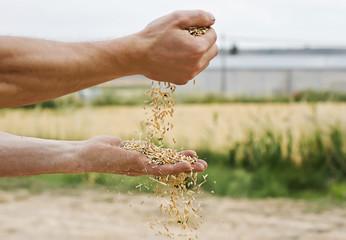 Semillas de cebada en manos