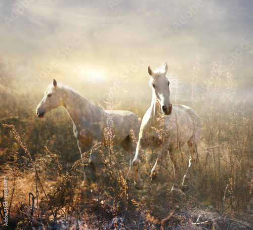white horse galloping on meadow - 66444917