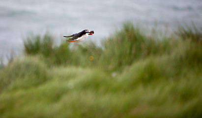 Puffin Flying Off Cliff