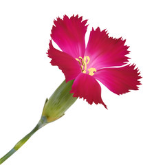 Red wildflower. Photo realistic vector illustration. Isolated on
