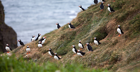 Puffins on Icelandic Cliff