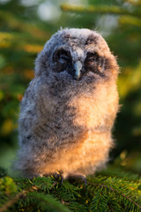 Portrait of long-eared owl chick