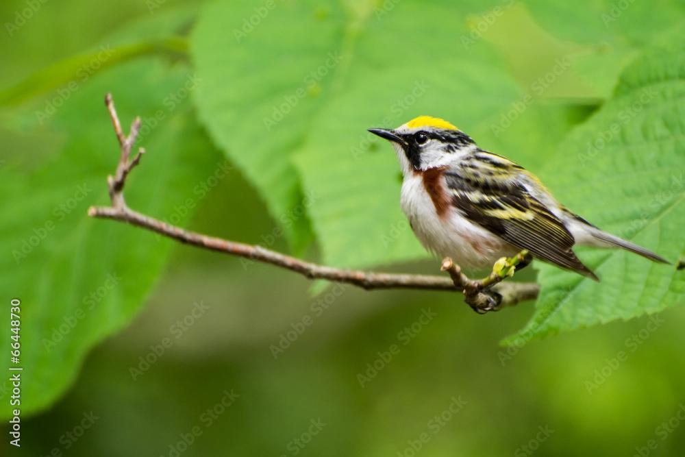 żółty ptak śpiewający obserwacja ptaków - powiększenie