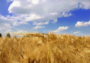 Field of Ripe Barley Crop under Blue Sky with Cirrus Clouds