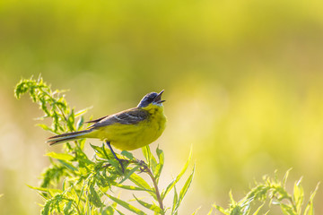 Western Yellow Wagtail singing