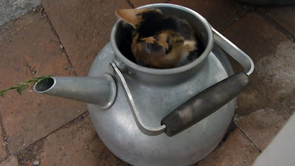 playful cat in a tea-pot