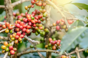 Coffee Plant. Red coffee beans on a branch of coffee tree.