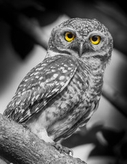Spotted owlet( Athene brama) in nature with black&white style