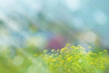 Rapeseed flowers in a field