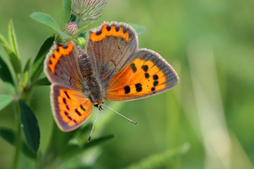 Butterfly - Small Copper (Lycaena phlaeas) on the meadow