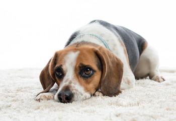 Hund liegt auf dem Boden und wartet