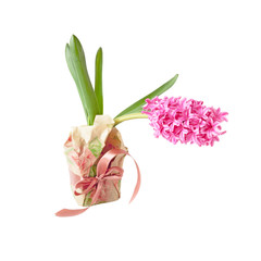 Hyacinth in a gift box isolated over white