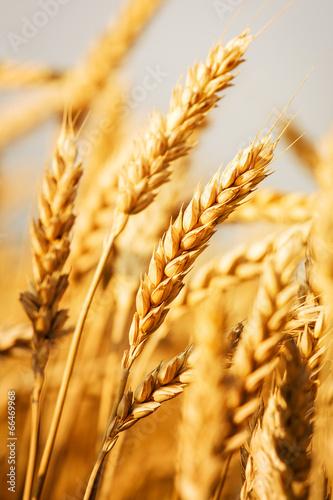 Spoed canvasdoek 2cm dik Cultuur wheat field