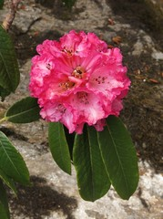 Bloom of a pink rhododendron, wildflower in Nepal