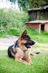 German Shepherd on the Podlasie village