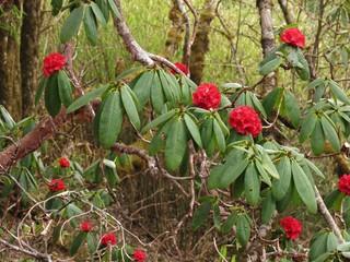 Red wild rhododendron, national flower of Nepal