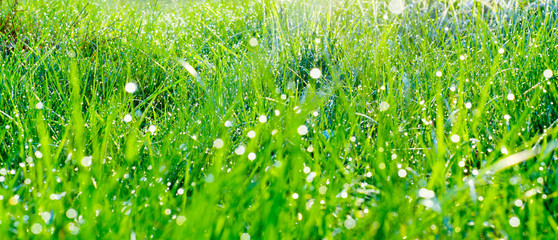 Morning grass with dew