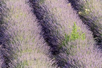 provenza costa azzurra francia coltivazione lavanda