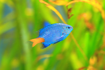 Yellowtail Damselfish (Chrysiptera parasema) in Japan