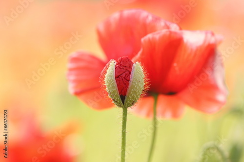 In de dag Poppy Mohnblumen