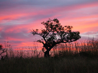 Sunset in Kruger National Park. Lonely tree.