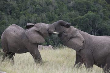 Elephant contact