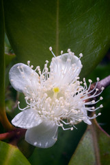 Flower of Cattley guava or Peruvian guava (Psidium littorale sus