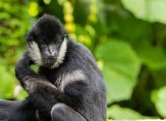Northern white-cheeked gibbon  portrait