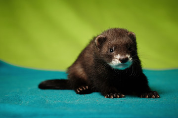 Young 6 weeks old ferret male