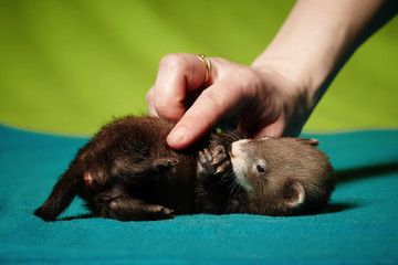 Young 6 weeks old ferret