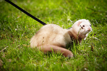 Ferret male on leash posing and enjoying park
