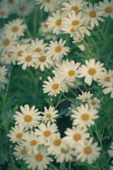 Blooming Camomile flowers at flowerbed