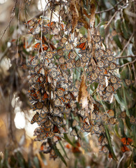 Monarch Butterflies Migration Eilwood Grove Goleta California