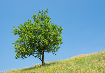 Lonely apricot tree on a hill at summer season
