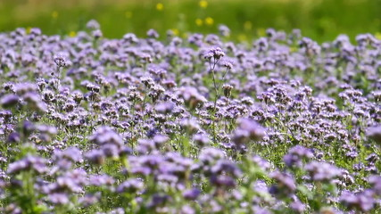 Blossom phacelia flowers in summer day