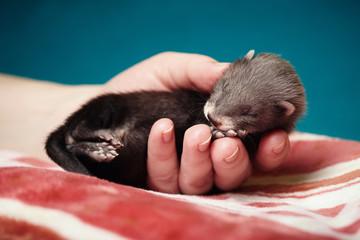 Sleeping little ferret in hands