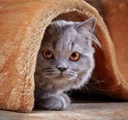 british longhair kitten