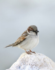 Closeup of a beautiful sparrow sitting on rock